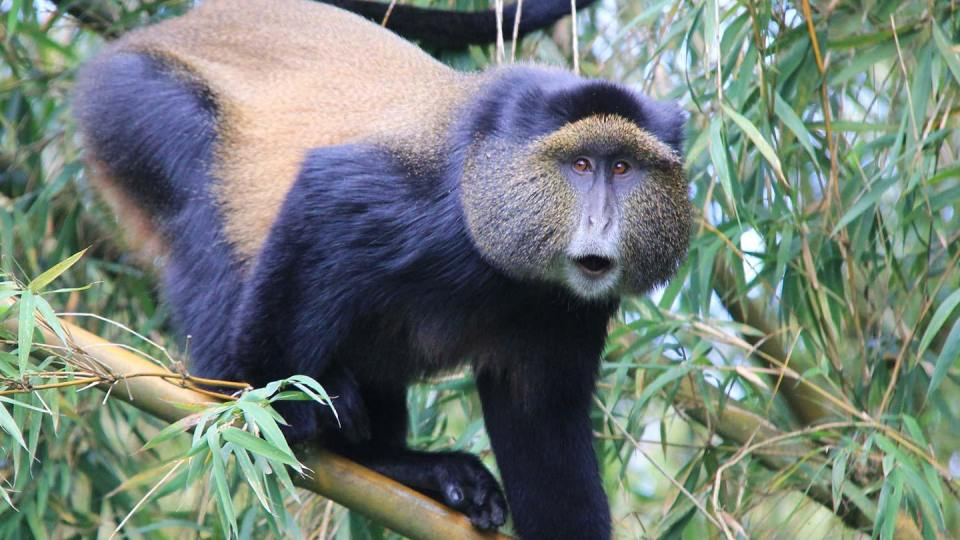 golden-monkeys-rwanda3